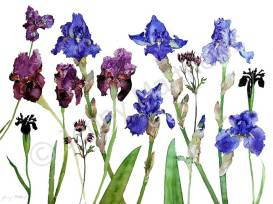 Purple Irises greetings card