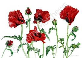 Scarlet Poppies greetings card